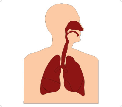 Respiratory System Clipart - ClipArt Best