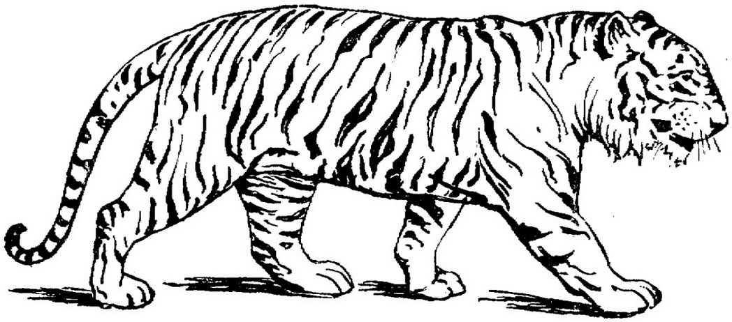 wild cats coloring pages print - photo#15
