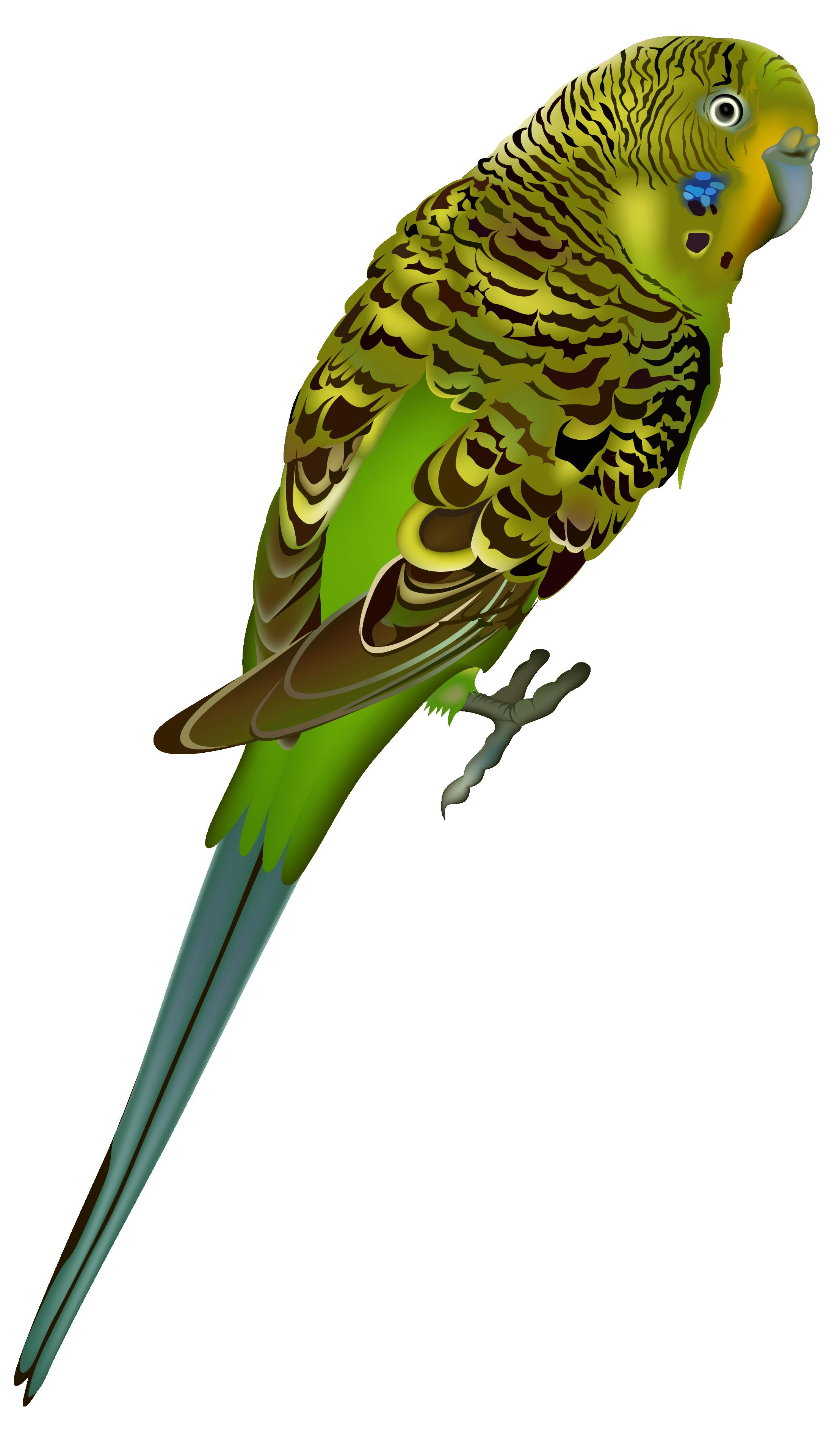 parakeet clipart   clipart best