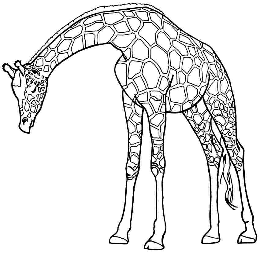 Line Art Giraffe : Line drawing giraffe clipart best
