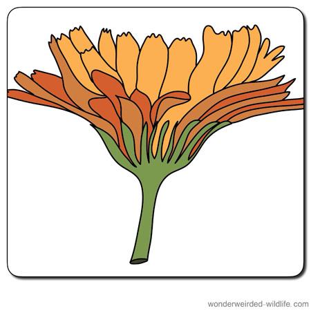 Marigold flower clipart