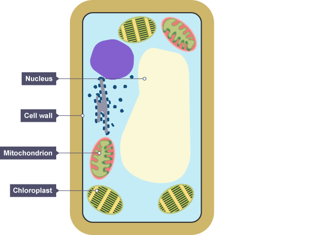 plant cell diagram ks3 - DriverLayer Search Engine