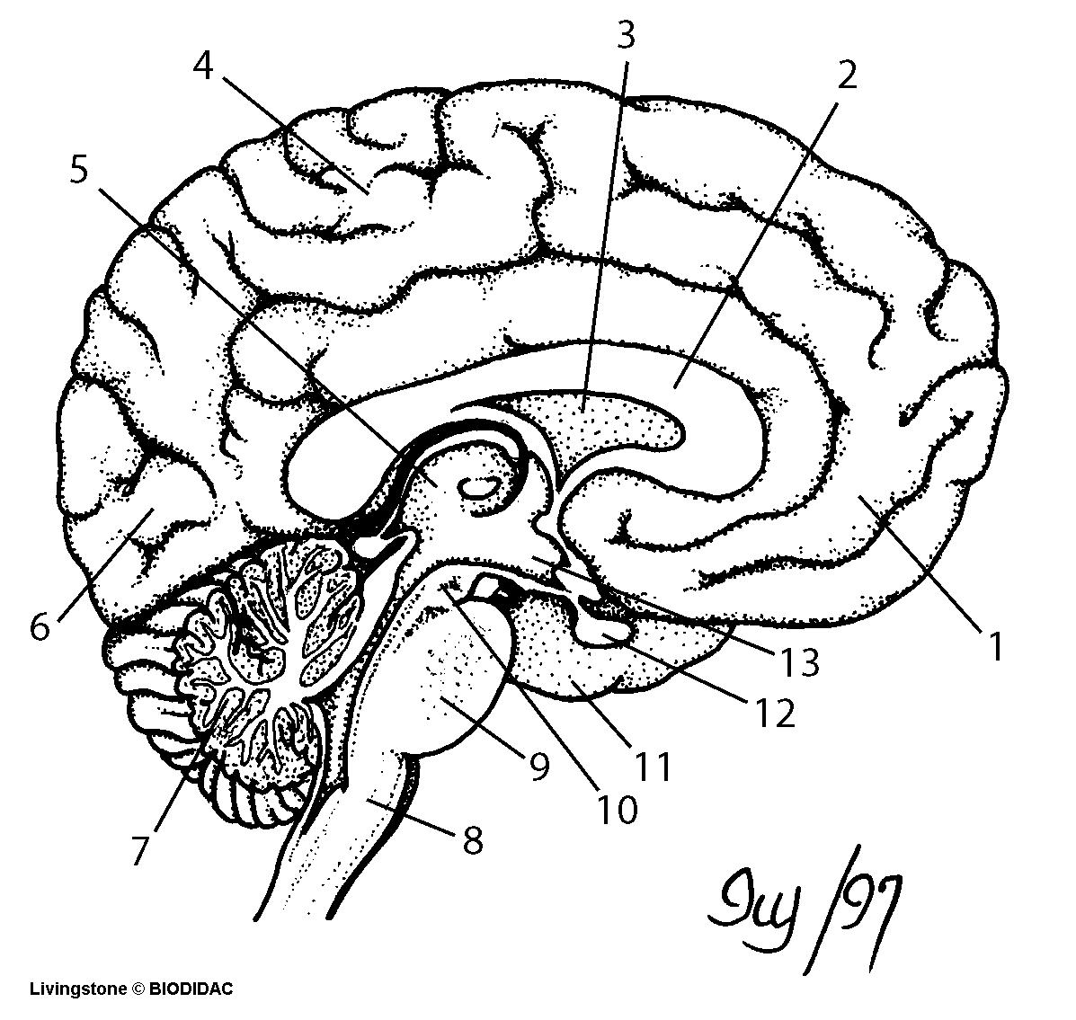 Brain Blank Diagram - ClipArt Best