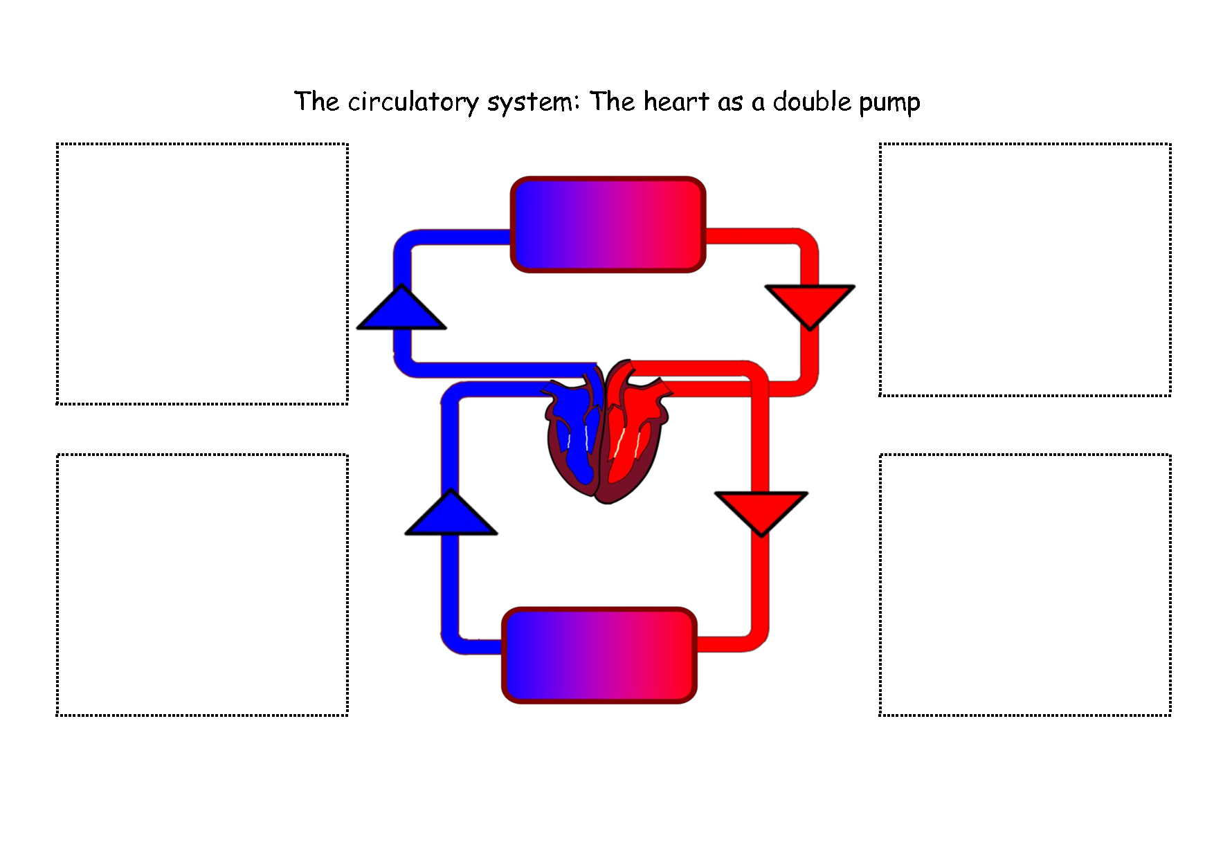 circulatory system no labels - photo #29