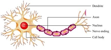 neuron labeled diagram clipart best : neuron labeled diagram - findchart.co