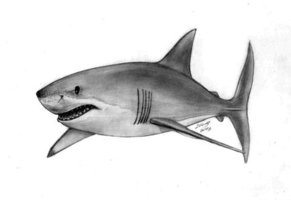 how to draw a realistic great white shark