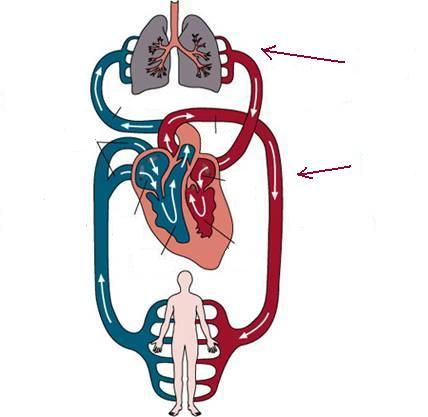 Circulatory System Diagram Unlabeled - ClipArt Best