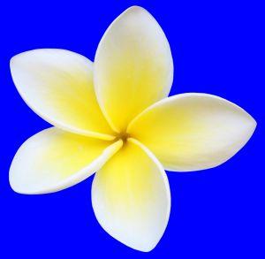 Foto Setangkai Bunga Kamboja Putih Background Biru Download Clipart Best Clipart Best