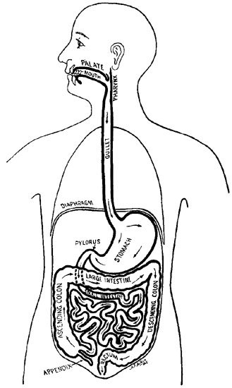 Digestive System Blank Diagram For Kids Sketch Coloring Page
