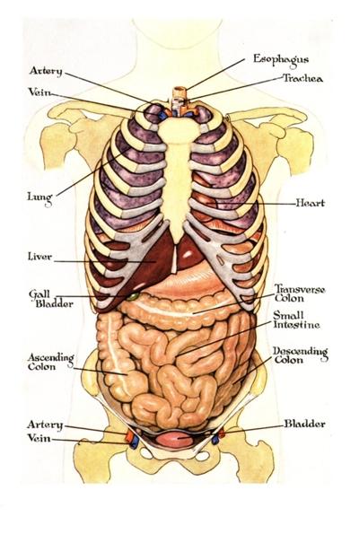 Body diagram of internal organs