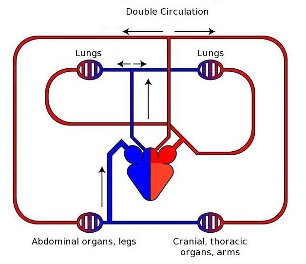 Circulatory System Simple Diagram - ClipArt Best