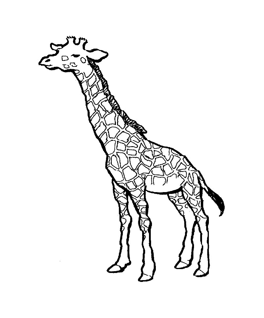 Line Art Giraffe : Giraffe line drawing clipart best