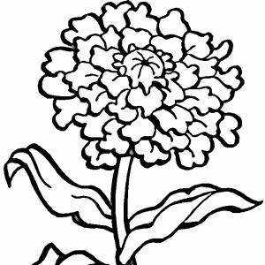 Marigold Drawing - ClipArt Best