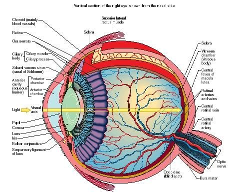 Labeled Eye Diagram Clipart Best