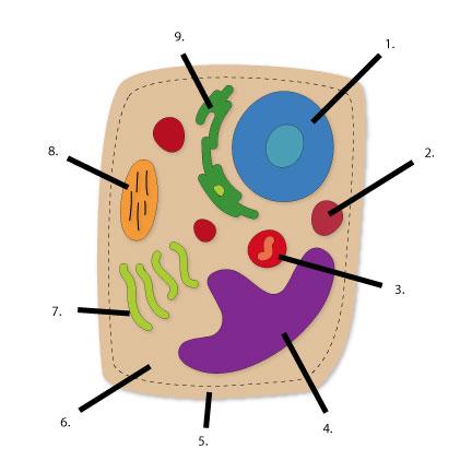 animal cell diagram labeled for kids clipart best. Black Bedroom Furniture Sets. Home Design Ideas