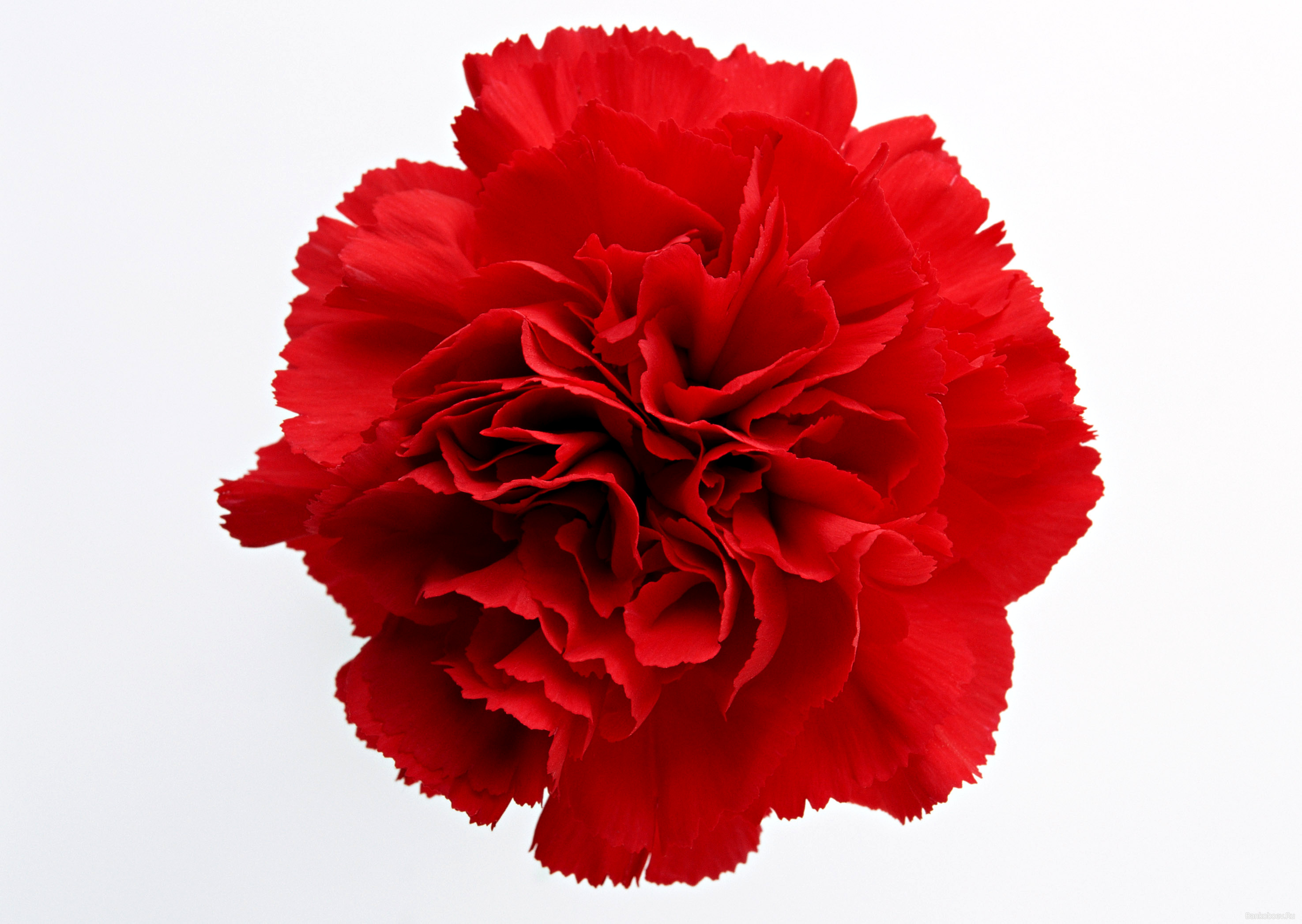 carnation tattoo images clipart best red carnation clipart carnation clipart images