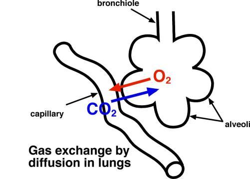alveoli diagram clipart best : alveoli diagram - findchart.co