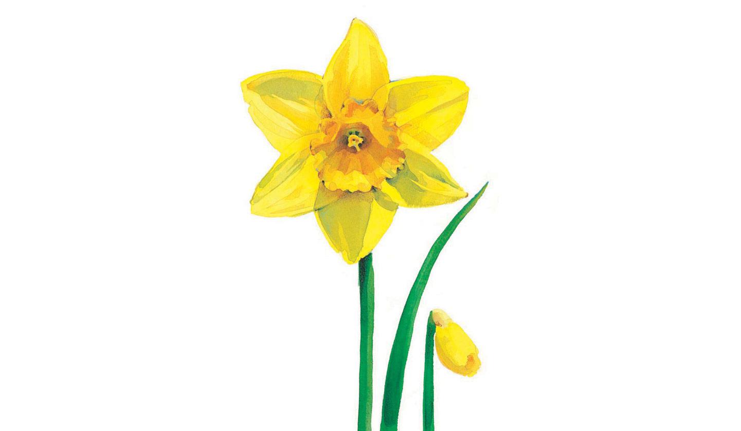 Daffodil Pics - ClipArt Best