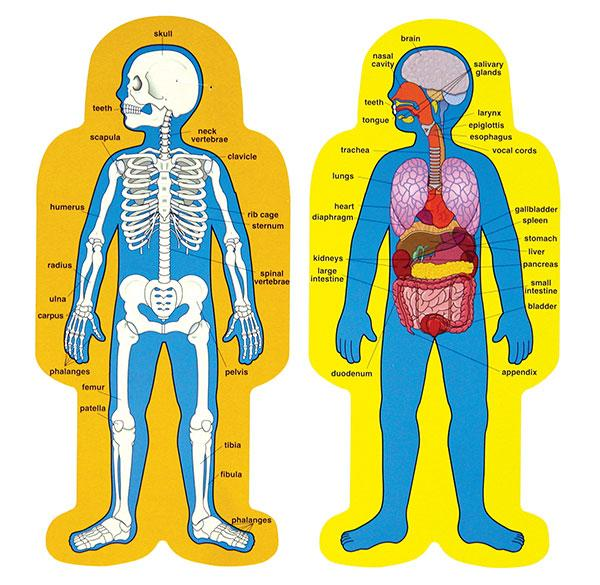 Human body anatomy for kids