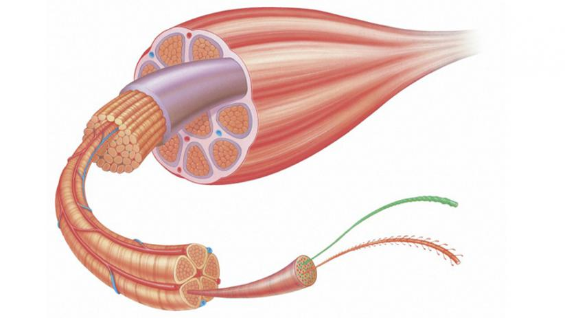 A closer look at skeletal muscles: muscle fibres | Big Picture
