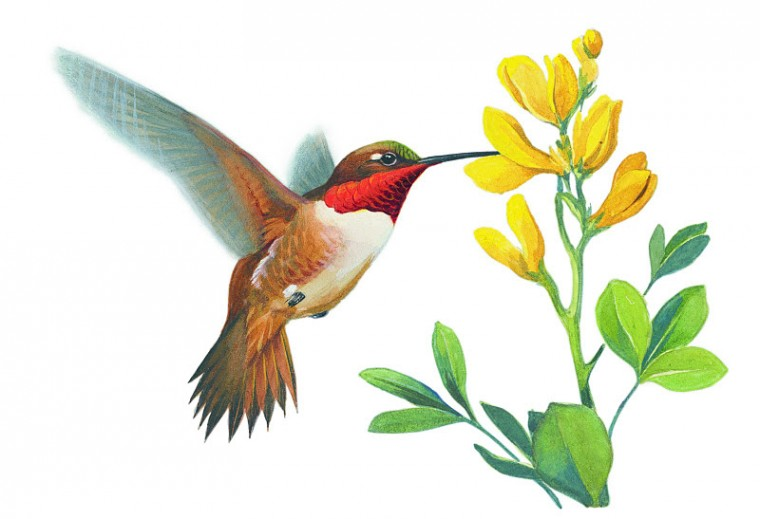How To Paint A Hummingbird Clipart Best