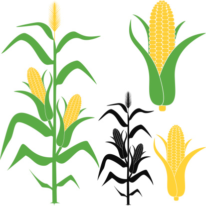 corn stalk clipart clipart best