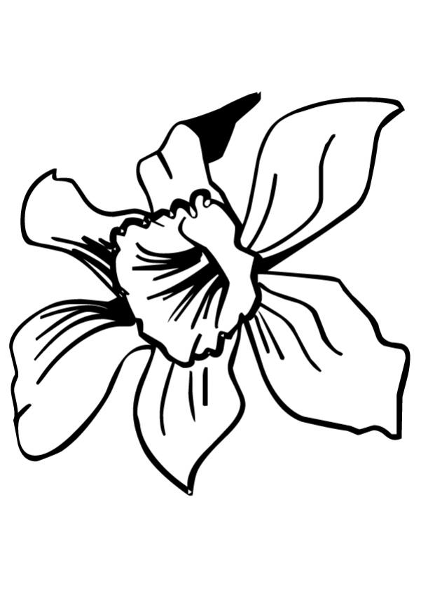 Narcissus Flower Drawing ClipArt Best