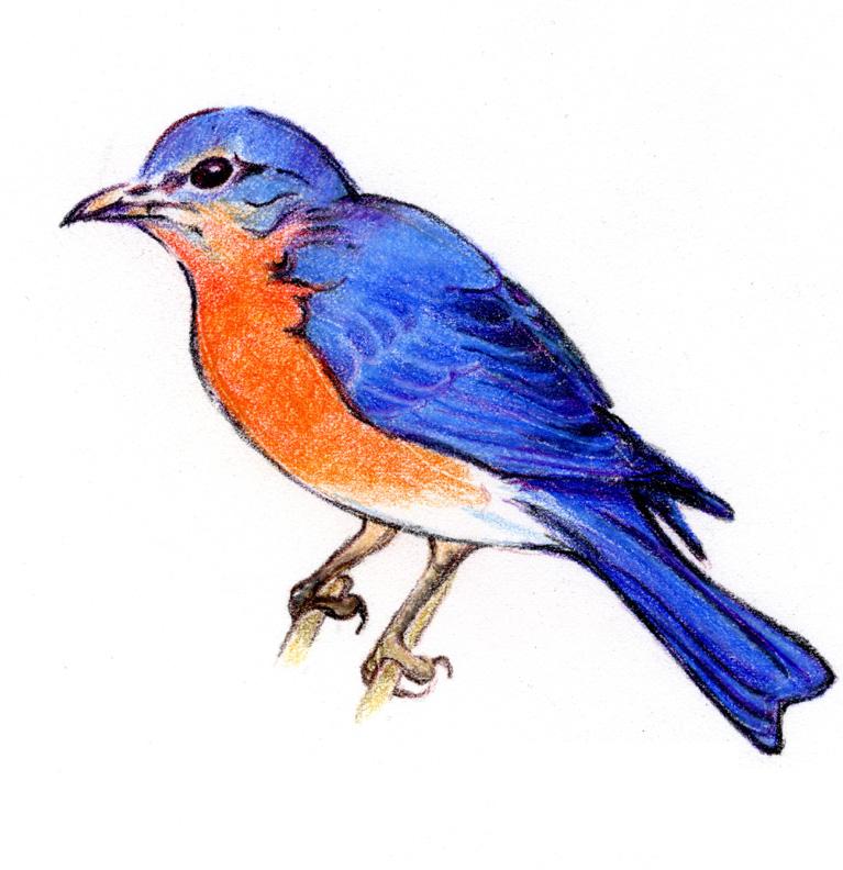Blue Bird Drawings - ClipArt Best