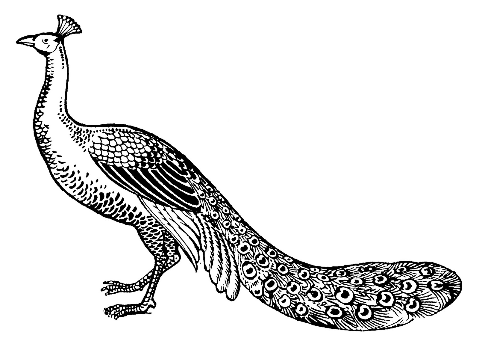 Line Drawing Of Peacock : Line drawing peacock images clipart best