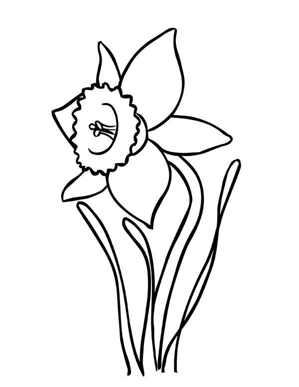 Line Drawing Daffodil : Daffodil drawing clipart best