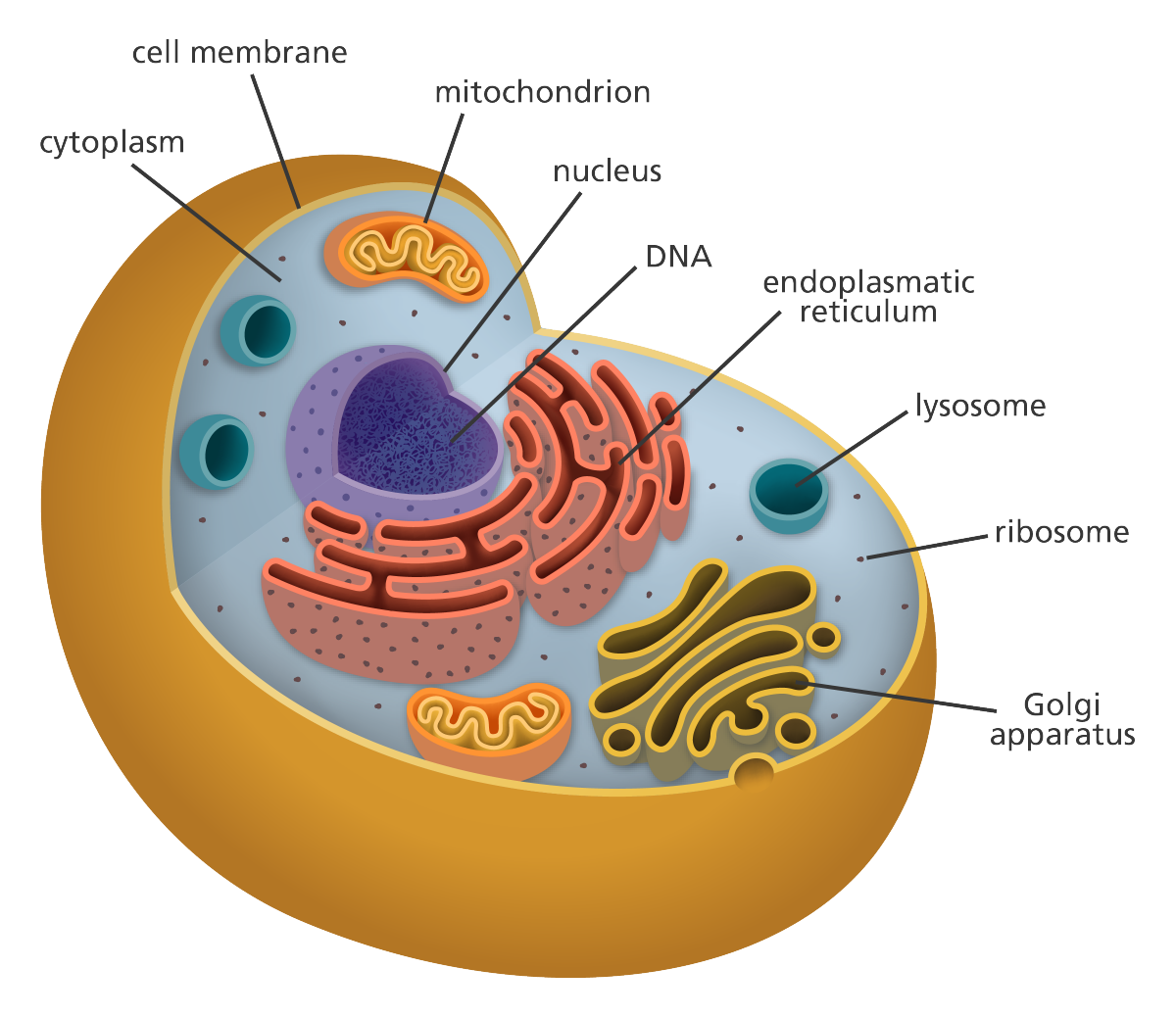mutations on mitochondria inside the human body The mitochondrial dna mutations that cause this condition and function of the body's systems these mutations disrupt the human mitochondrial.