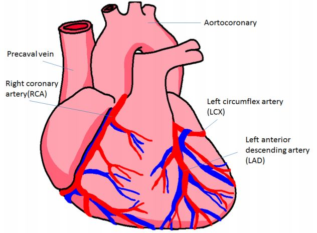 Heart Diagram To Label - ClipArt Best