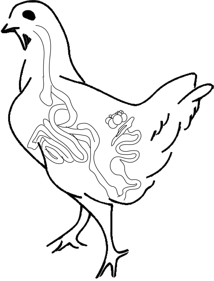 Line Drawing Chicken : Chicken drawing free clipart best