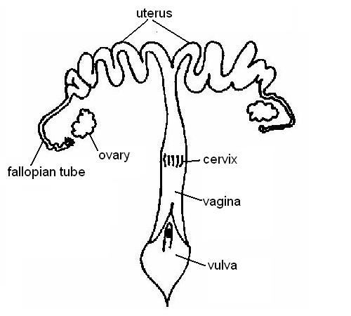 Female Reproductive System Blank Diagram