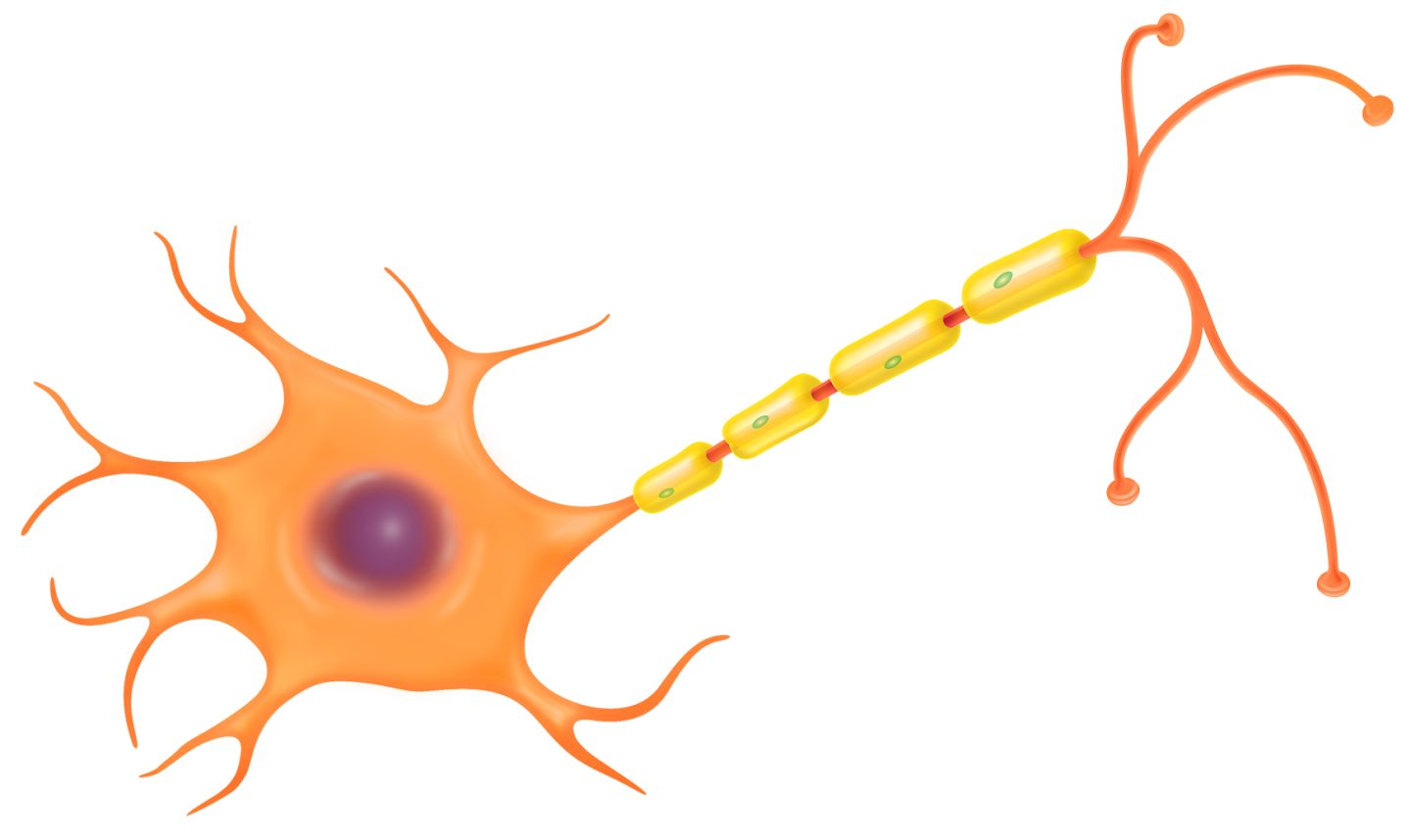 Nerve Cells Diagram - ClipArt Best
