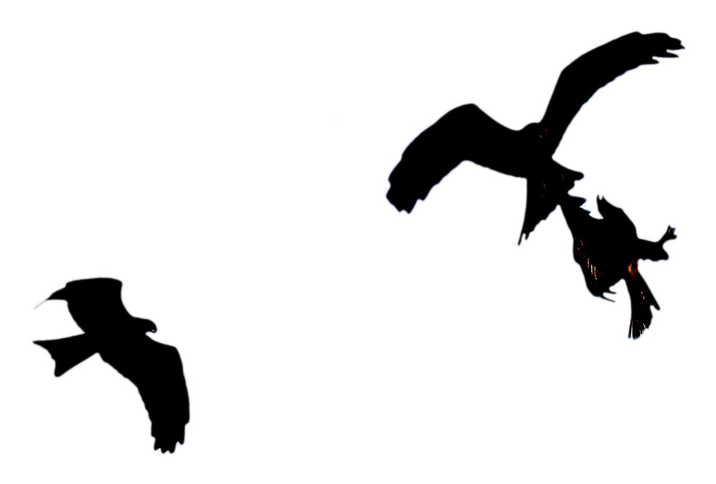 Bird in flight silhouette - photo#25