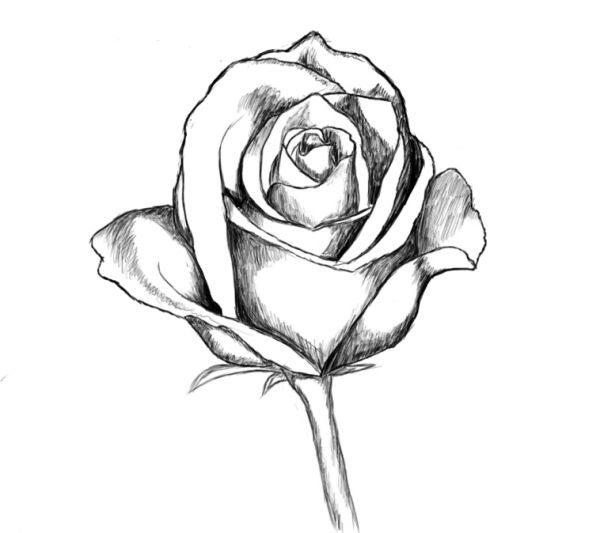 Line drawing of a rose clipart best for How do you draw a rose step by step