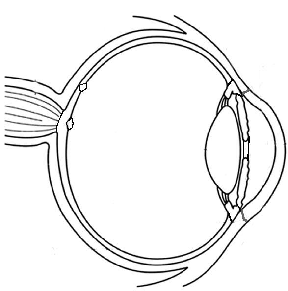 blank skeletal system diagram