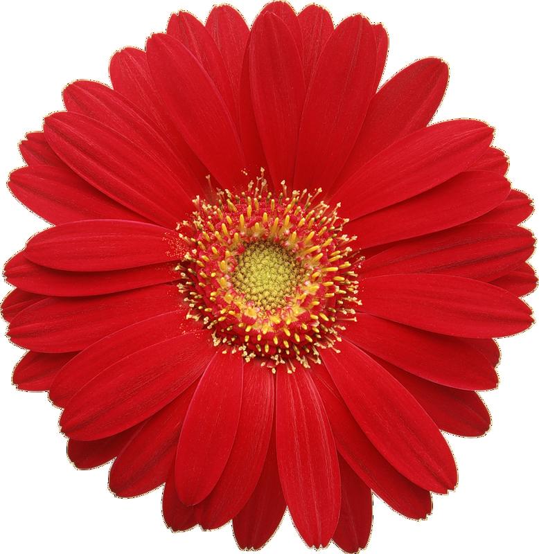 gerber daisy clip art clipart best gerber daisy images clip art gerber daisy clip art images