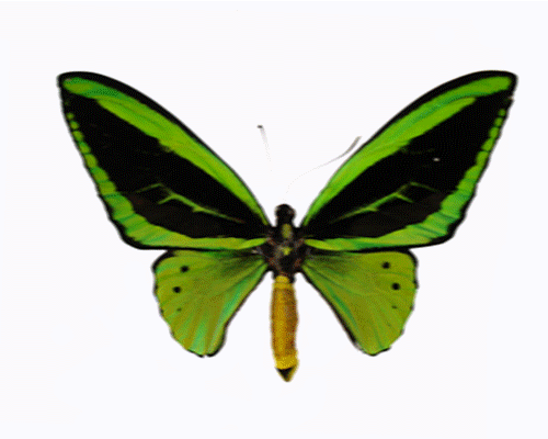 animated butterfly clipart free - photo #13