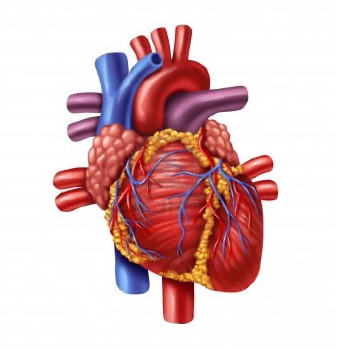 Heart Diagram Unlabeled - ClipArt Best