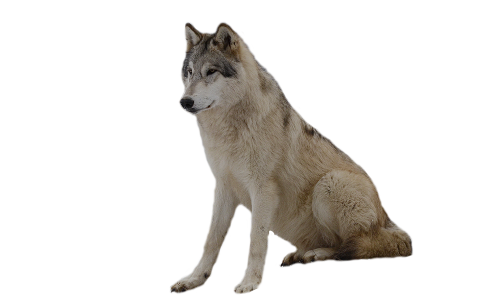 Wolf Png - ClipArt Best