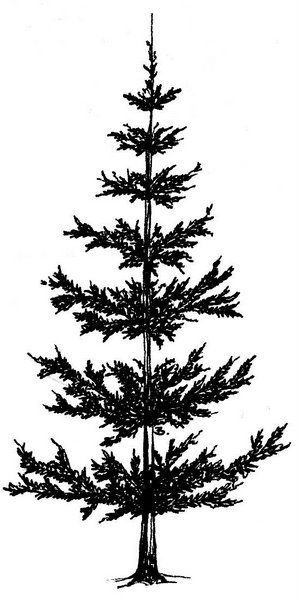 Drawing Pine Trees - ClipArt Best