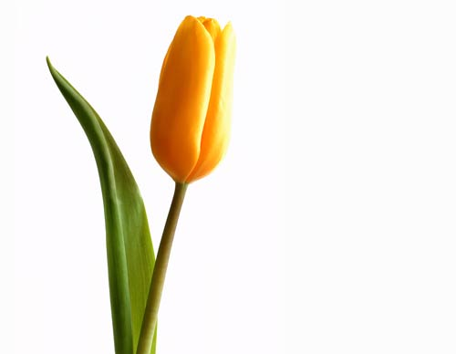 Single Yellow Tulip - ClipArt Best