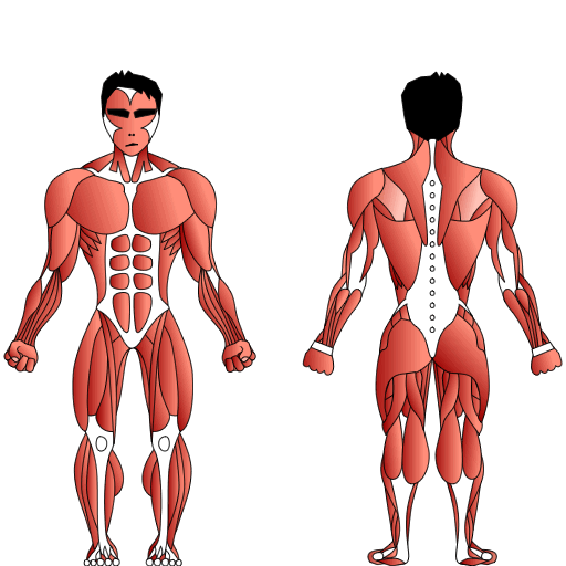 The Skeletal Muscle System of the Human Body