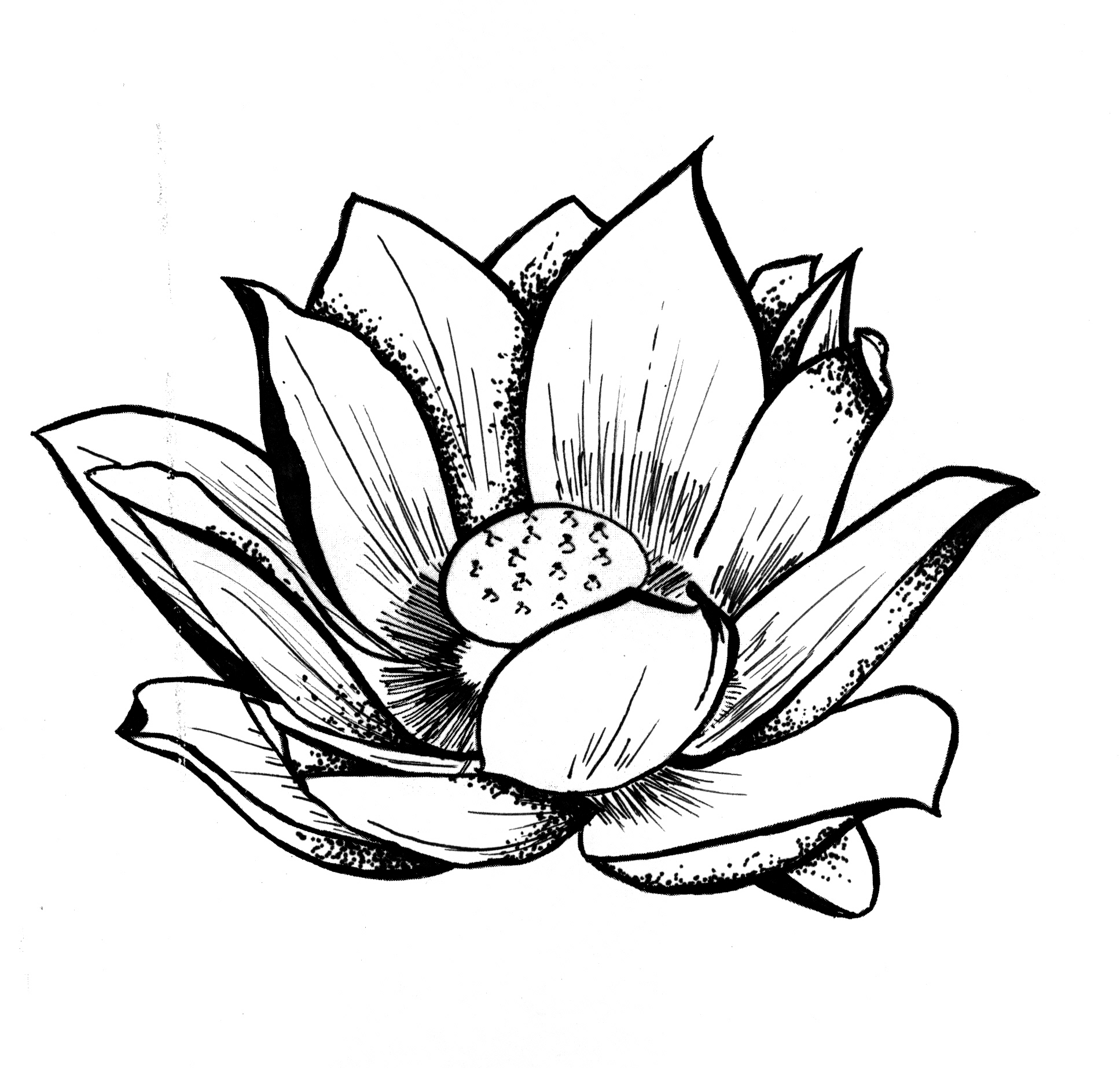 Line Drawing Of Lotus Flower : Lotus line drawing clipart best
