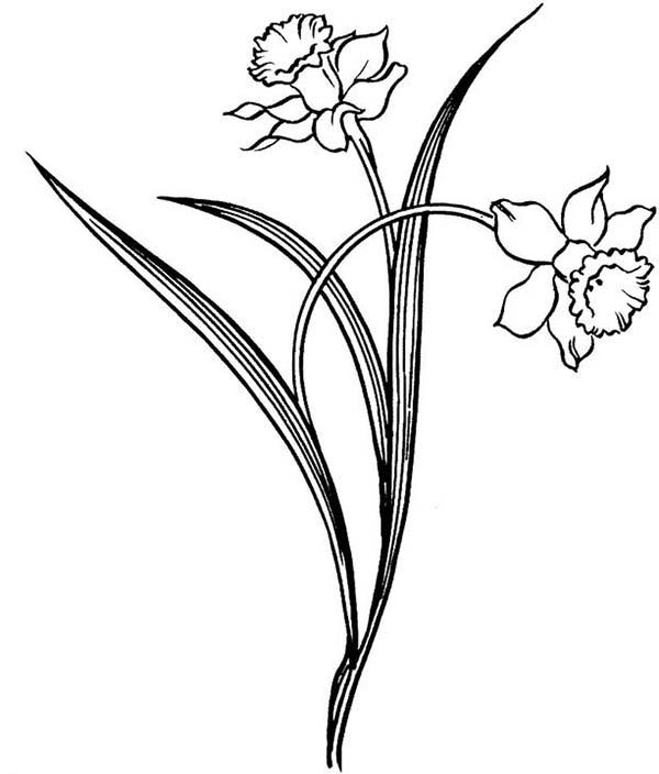 Daffodil Drawing - ClipArt Best