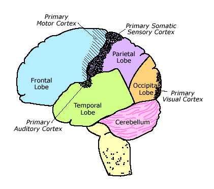 Simple Diagram Of The Brain - ClipArt Best