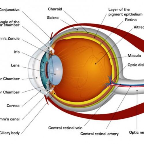 Cow Eye Labeled Diagram