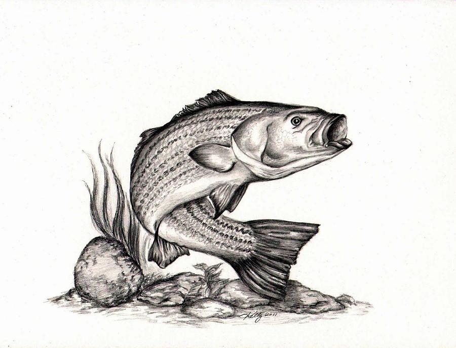 striper drawing by kathleen kelly thompson striper fine